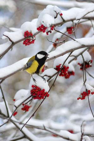 雪のナナカマドの枝に座っているシジュウカラです。冬の背景