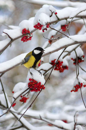 Tit sitting on a branch of rowan in the snow. Winter background Banque d'images