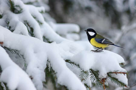 Tit sitting on spruce branches covered with snow in winter