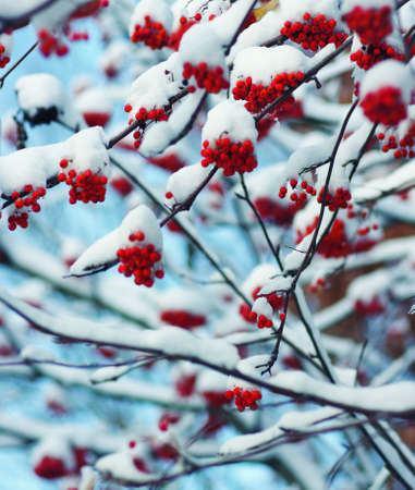 sopel lodu: Red bunches of rowan covered with the snow