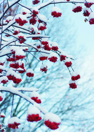 bunches: Red bunches of rowan covered with the snow