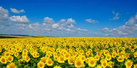 champ de floraison des tournesols sur un fond de ciel bleu Banque d'images