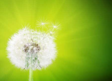 dandelion flower on blurred background