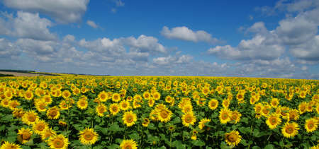 cloudscapes: field of blooming sunflowers on a background of blue sky Stock Photo
