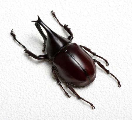 Rhinoceros beetle, Rhino beetle, Hercules beetle, Unicorn beetle, Horn beetle. Stock Photo