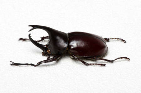Rhinoceros beetle, Rhino beetle, Hercules beetle, Unicorn beetle, Horn beetle. Stock Photo