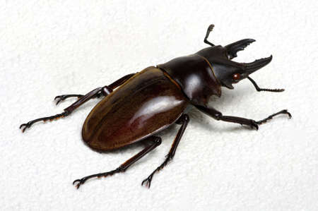 Stag beetle isolated on white background