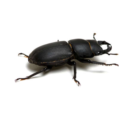 black beetle isolated on white Stock Photo