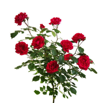 Festal stock photos royalty free festal images red roses on white background m4hsunfo