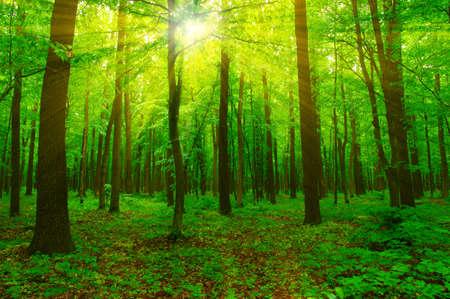 arboles frondosos: Bosque con la luz del sol. El sol irradia a través de ramas de los árboles Foto de archivo