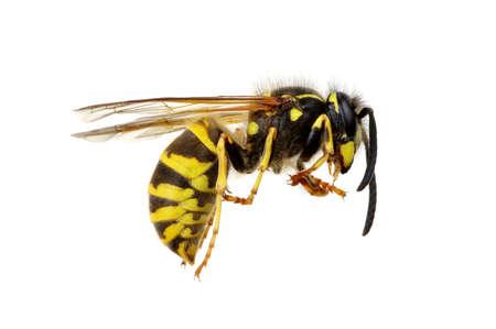 wasp isolated on white background Stock Photo
