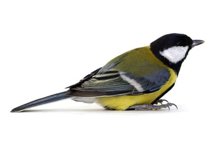 great tit, Parus major, isolated on white