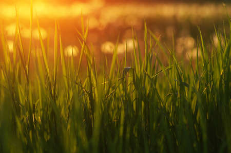 Green grass background with sun beam. Bright natural bokeh. Soft focus. Abstract nature background . Banque d'images