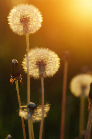 Dandelions in the sun on the field Banque d'images