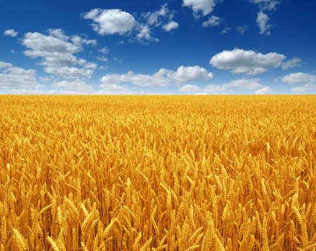 wheat field and sky with white clouds Banque d'images