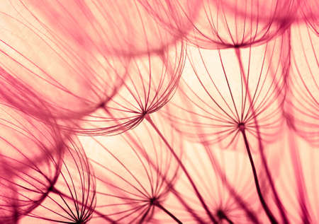 Abstract dandelion flower background. Seed macro closeup. Soft focus . Spring nature Stock fotó
