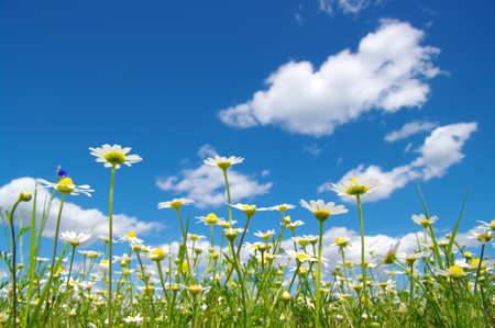 White camomiles on blue sky background  版權商用圖片