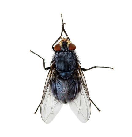 Un coup de macro de voler sur un fond blanc. Live house fly .Insect gros plan