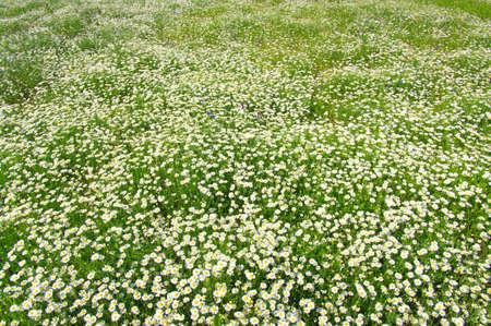 White camomiles  background