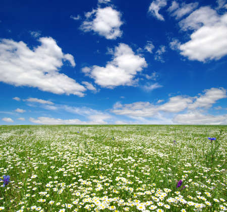 white daisies on blue sky background Banque d'images