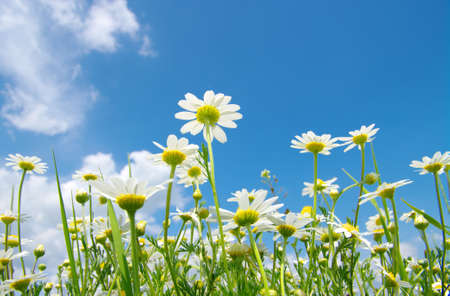 White camomiles on blue sky background  Banque d'images