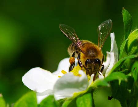 Abeille sur la fleur. Bee au travail