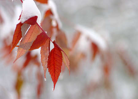 leaves in snow. Late fall and early winter. Blurred nature background with shallow dof.