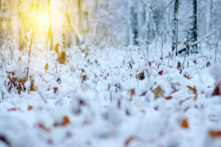 Yellow leaves in snow on sun. Late fall and early winter. Blurred nature background with shallow dof. The first snowfall. Stock Photo