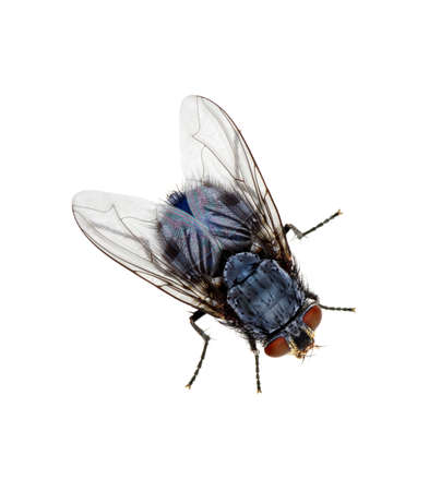 A macro shot of fly on a white background . Live house fly .Insect close-up Stok Fotoğraf