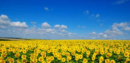 field of blooming sunflowers on a background of blue sky Foto de archivo