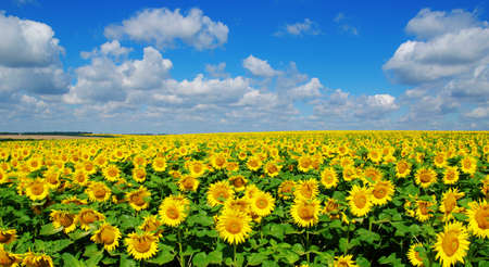 field of blooming sunflowers on a background of blue sky Stock Photo