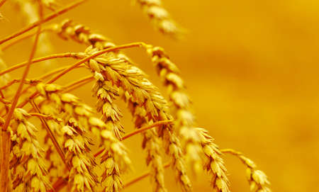Wheat closeup. Wheat field. Background of ripening ears of wheat. Harvest and food concept Stock fotó