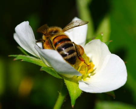 Bee on the flower. Bee at work Banque d'images