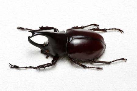 Rhinoceros beetle, Rhino beetle, Hercules beetle, Unicorn beetle, Horn beetle. Banque d'images