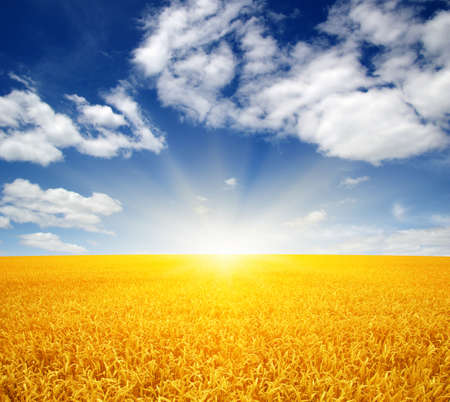 Wheat field and sun in the sky  Banque d'images