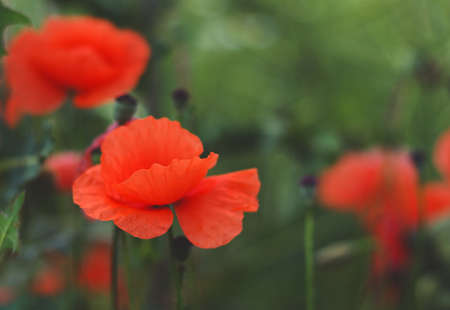 wild poppy flower on field  Banque d'images