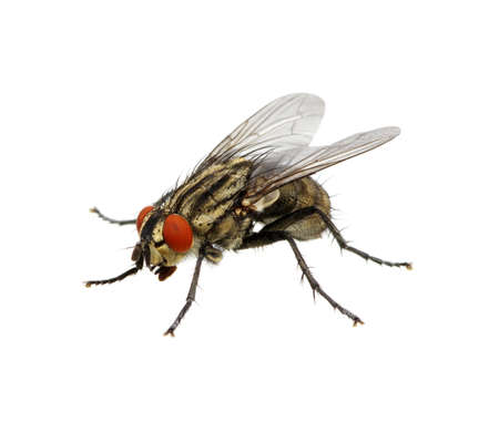 A macro shot of fly on a white background . Live house fly .Insect close-up Banque d'images