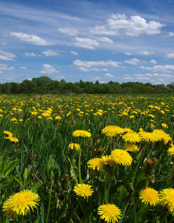 yellow dandelion on meadow in spring Banque d'images