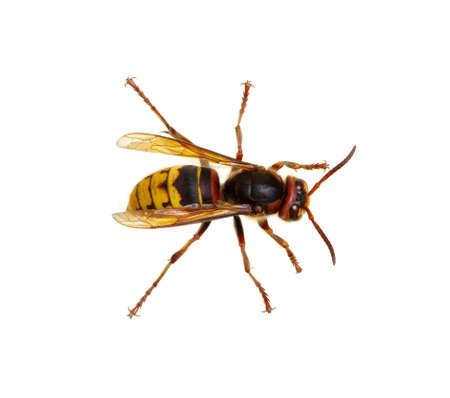 European Wasp Stock Photos. Royalty Free European Wasp Images