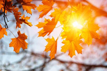 태양의 단풍