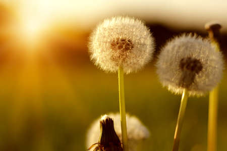 Dandelions in the sun on the field Stockfoto