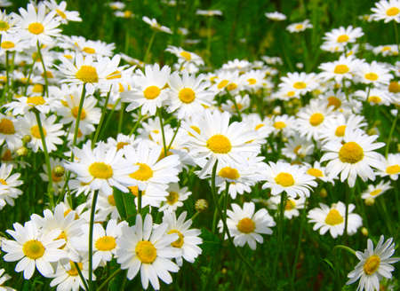 White camomiles on green field Zdjęcie Seryjne - 97828654