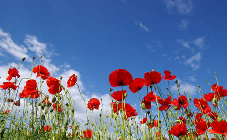 Red poppies on field, sky and clouds Stockfoto