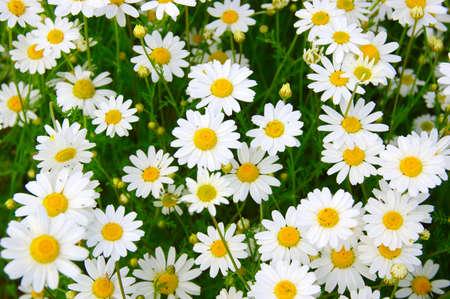 White camomiles on green field Zdjęcie Seryjne - 97830425