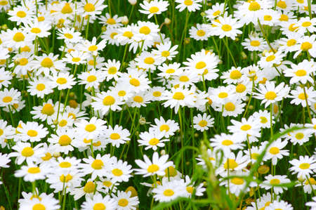 White camomiles on green field