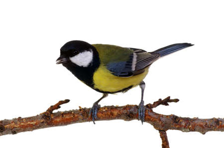 Great tit on a branch isolated on white Stock Photo