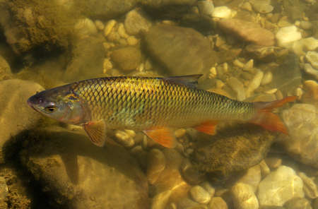 fish in the river water Stockfoto