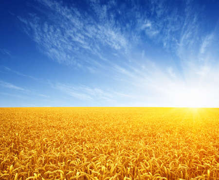 Wheat field and sun in the sky Stock Photo