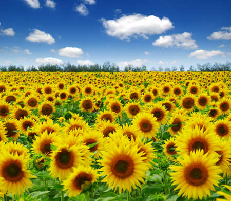 field of blooming sunflowers on a background of blue sky Imagens
