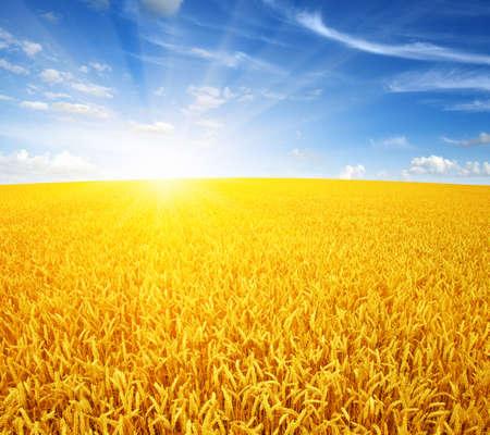 Wheat field and sun in the sky 免版税图像